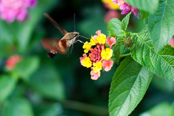 Hummingbird moth, Hemaris thysbe, Common clearwing, Sphinx moth